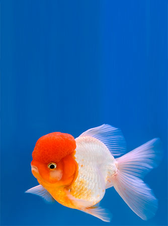 How To Care For Your Lionhead Goldfish